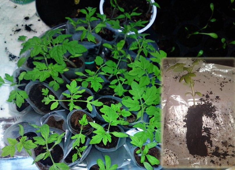 Рассада в полиэтилене. Как сажать семена или пикировать рассаду в «пеленки»