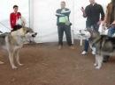 Czechoslovakian Wolfdog vs Alaskan Malamute.