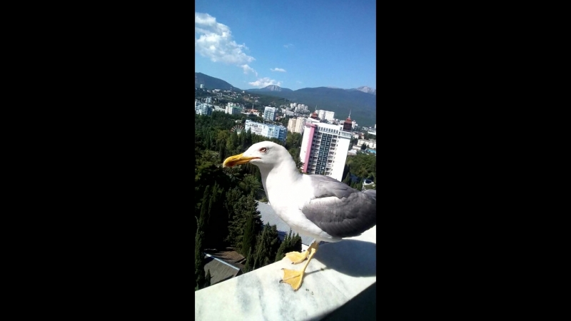 завтрак на балконе с крымским бакланом