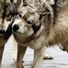 →Стихи о Волках←
