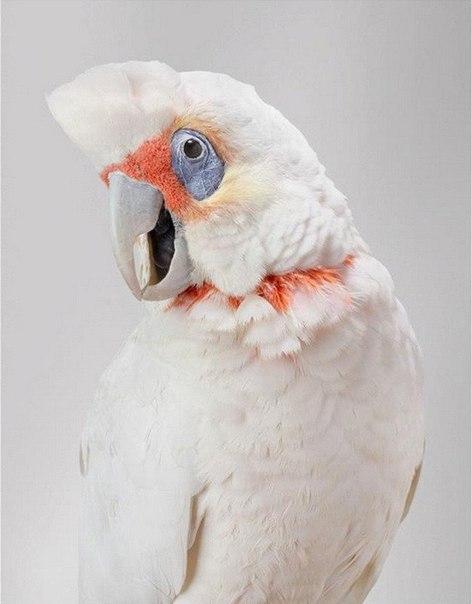 Попугаи Австралии в серии фотографий Лейлы Джеффрис