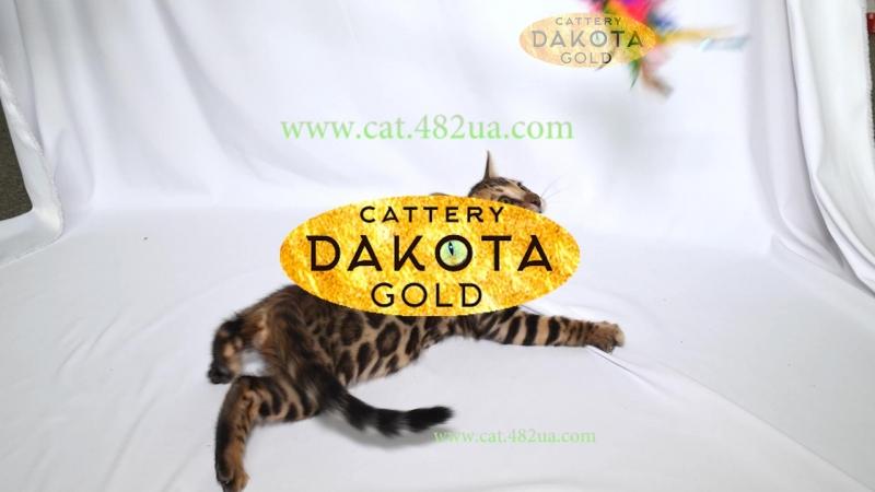 Dakota Gold, официальный питомник бенгальской кошки, бенгальский котенок, на белом фоне 2