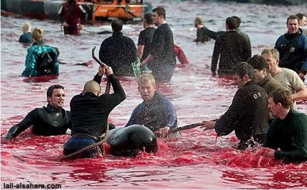 Массовые убийства дельфинов в Дании.