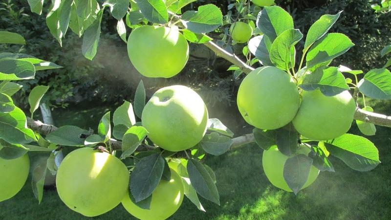 ОБРЕЗКА ЯБЛОНИ ВЫСОТОЙ 1,4м. Обрезка для тех, у кого густо высаженны яблони.