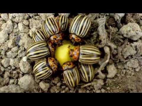 Простейшая ловушка для колорадского жука. Спасаем будущий урожай