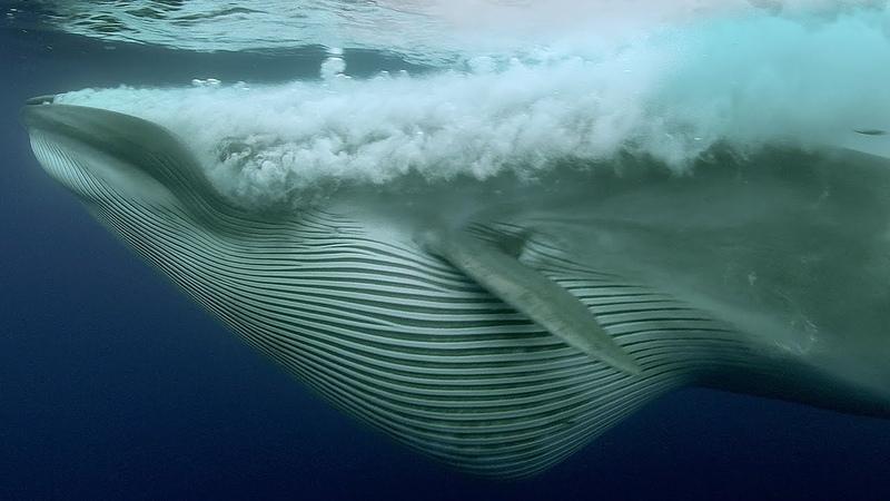Sardine Feeding Frenzy Whale, Shark, Dolphin and Sea Lions | The Hunt | BBC Earth