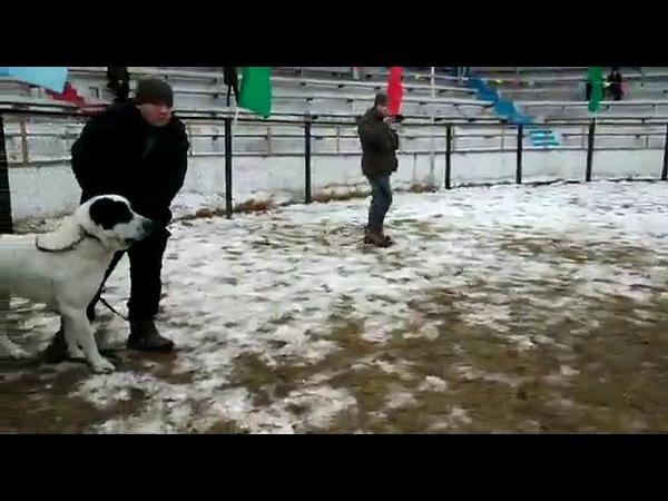 Алапар Талгарский район (победа)--Буян DOGS FIGHT IN RUSSIA.