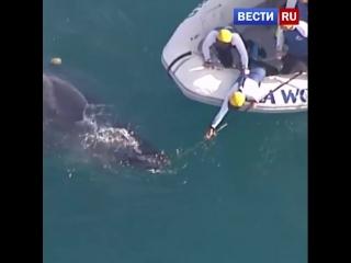 Чудесное спасение кита в Австралии