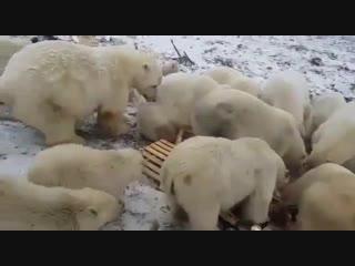 В России ввели режим ЧС из-за нашествия белых медведей