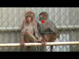Gaze tracking shows monkeys have a brain circuit dedicated to analysing social interactions