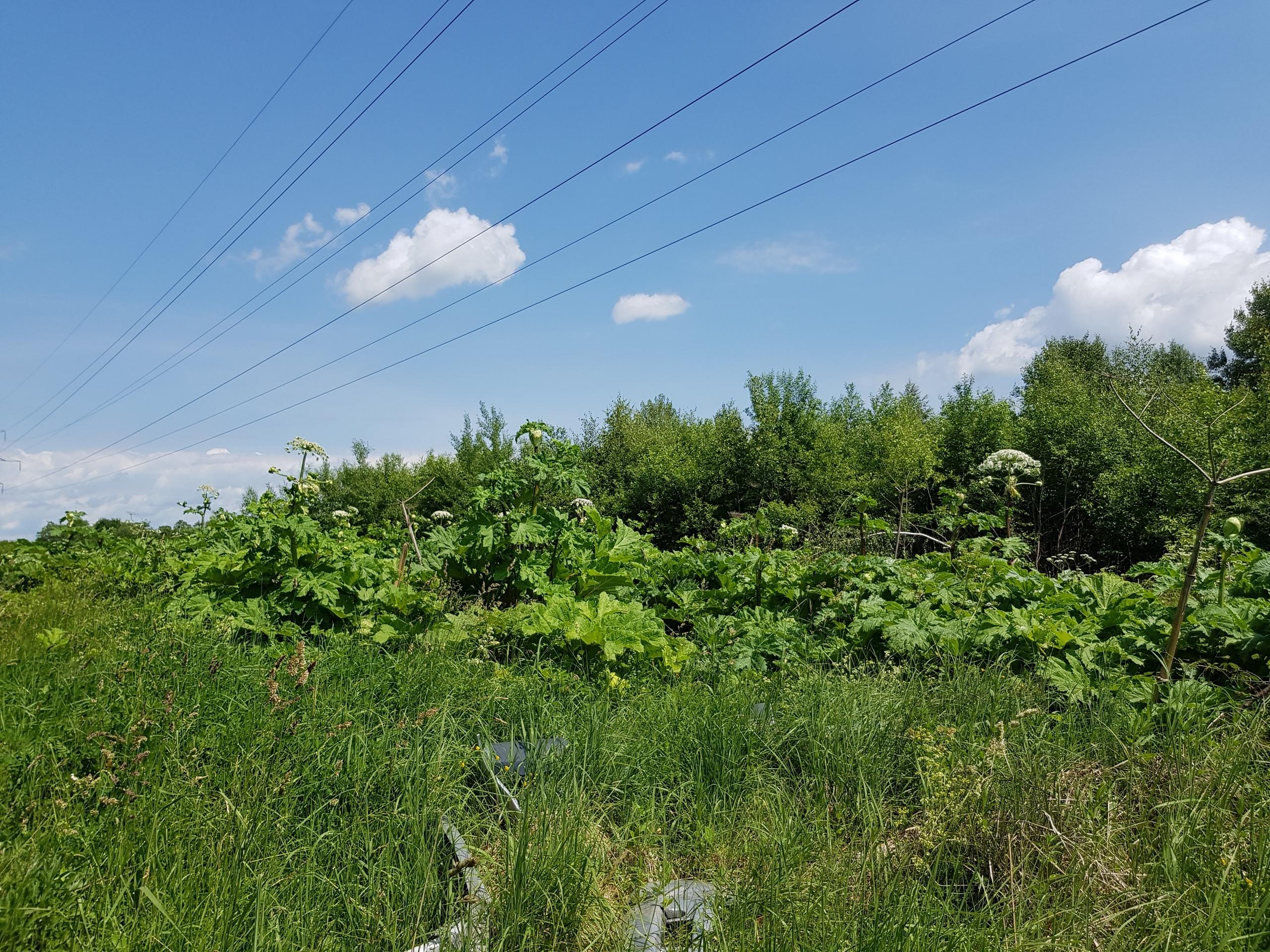 Найдена наибольшая плантация марихуаны