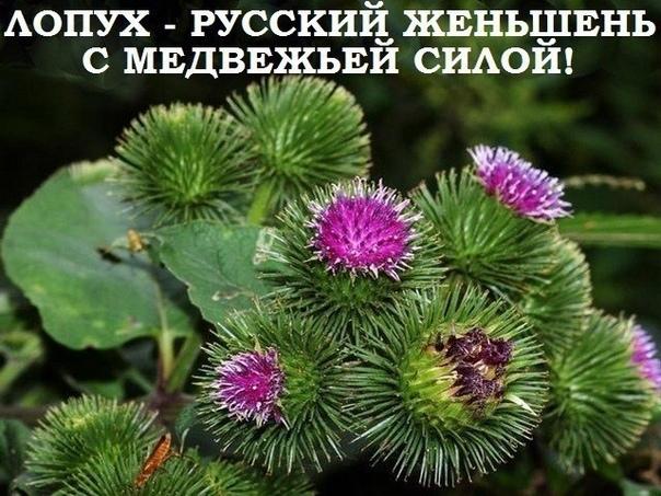 Лопух  это российский женьшень, чудо-корень, запасы его неограниченны. Используется как пищевое растение и для лечения рахита, при аллергиях, диатезах, почечнокаменной болезни, подагре, сахарном диабете, холецистите, гепатите, запорах, геморрое, экземе, п