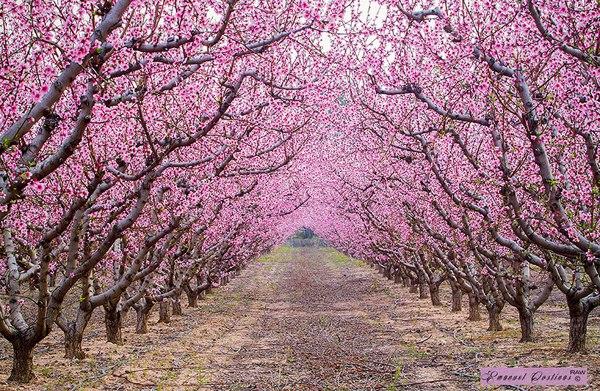 Дорога под цветущими деревьями