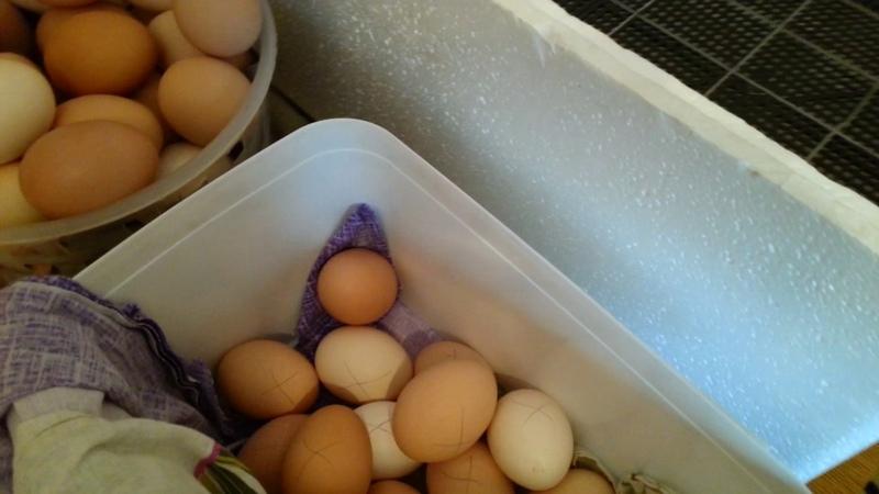 Инкубация куриных яиц.