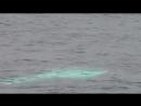 Albino Rissos Dolphin Calf.mp4