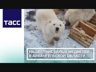 Нашествие белых медведей в Архангельской области