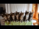 The most synchronous kittens under music. Beauty  Самые синхронные котята под музыку. Прелесть