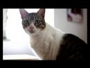 Порода кошек Цейлонская кошка Характеристика и стандарты кошки poroda koshek zabota scscscrp