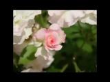 Виктор Лекарь - Эти розы для тебя. Создал видео - Прейтикас Артурас