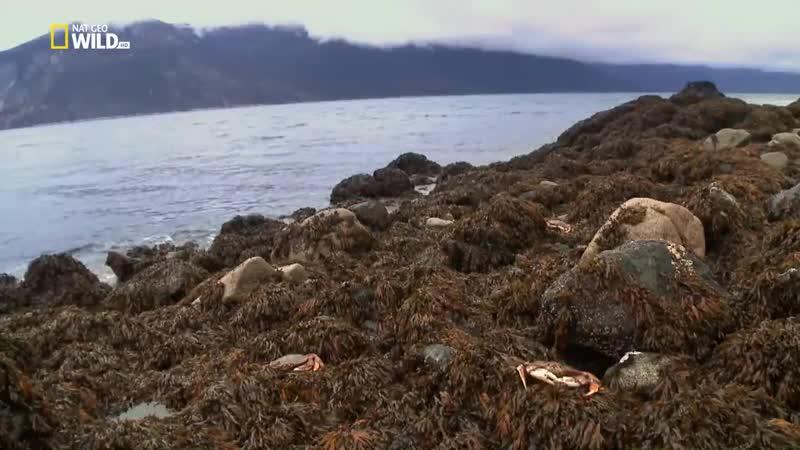 Аляска Охота норки на краба