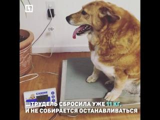 Собака сбросила 11 кг