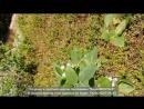 Садовая клюква