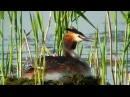 Последнее лето московской чомги The final summer of the Moscows Great Crested Grebe, eng subs