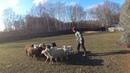 овцы день второй