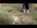 Гепард мурлыканье Милые Большие кошки Видео Под