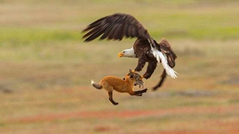 Белоголовый орлан отбирает добычу у лисы.