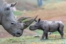 Рог у носорога очень прочный, но состоит он не из кости, а из кератина(вещество…