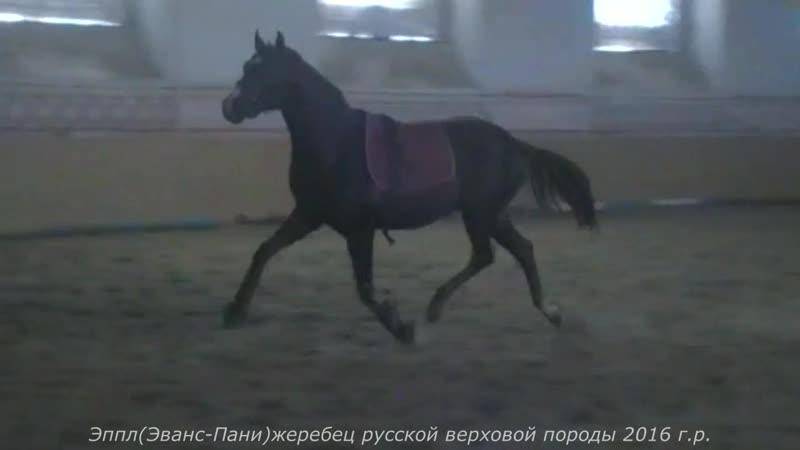 Эппл(Эванс-Пани)жеребец русской верховой породы 2016 г.р.
