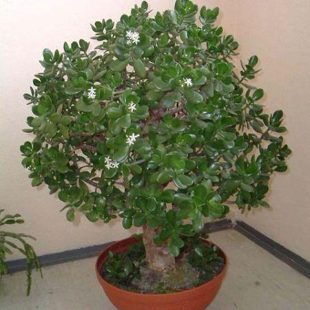 Удобрение для денежного дерева