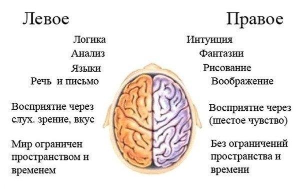 За что отвечают левое и правое полушария мозга