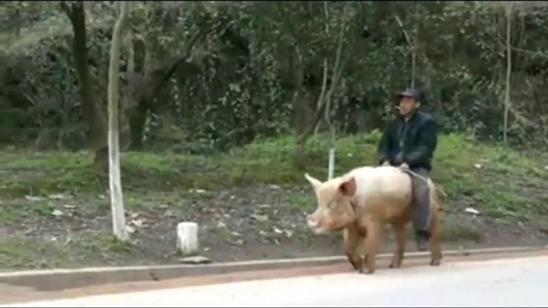 Он ездит на свинью это надо на это посмотреть