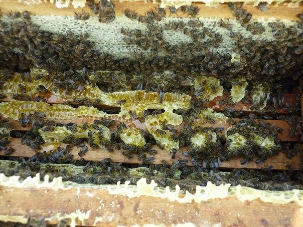 Пчелы или осы