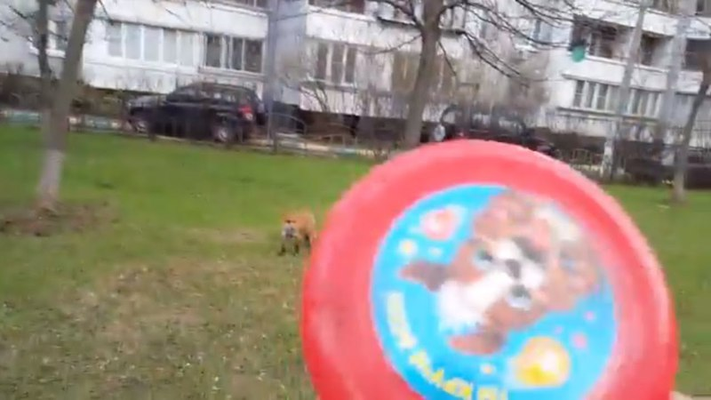 Tiki the fox is playing frisbee (Day 409)