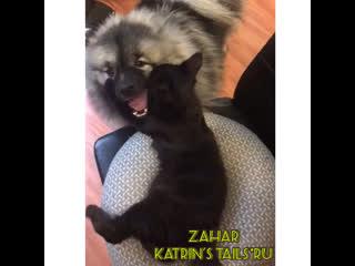 Мейн-Кун дружит с собакой Zahar Katrin's TAils