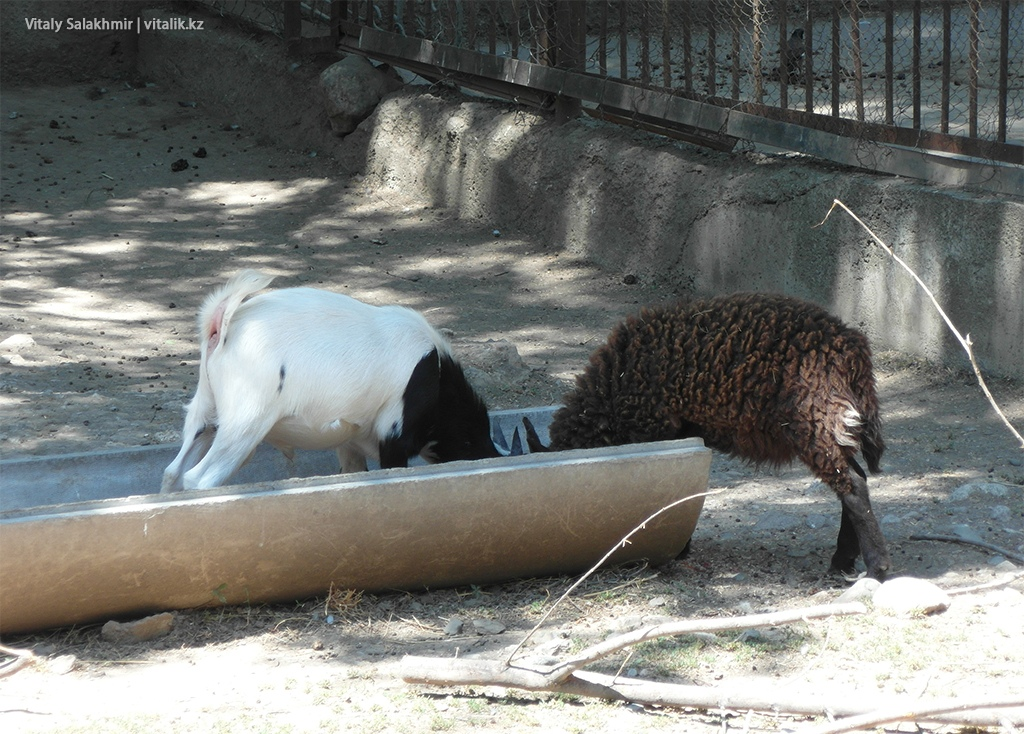 Камерунская коза, зоопарк Алматы