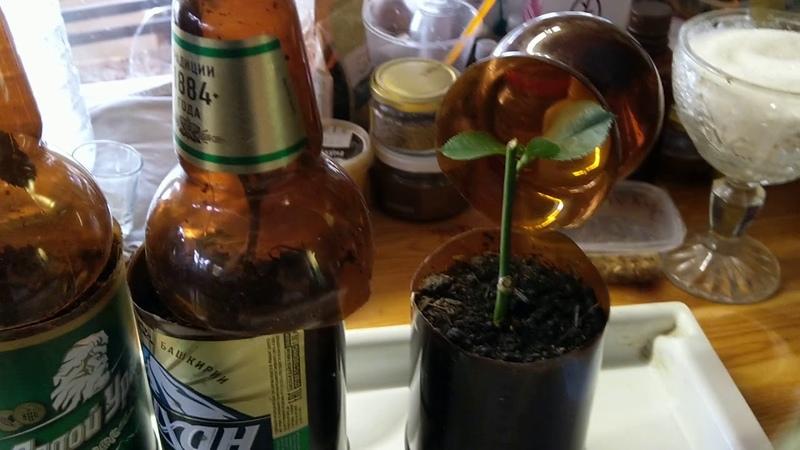 Инжир и Розы Осенние черенкование