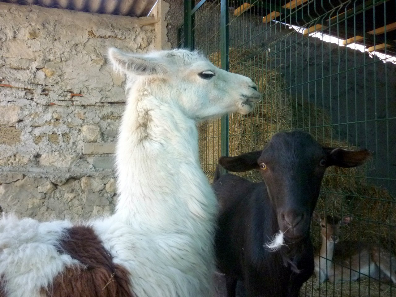 Лама и козлик