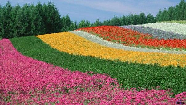 Лавандовые поля фермы Томита, Фурано, Япония