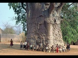 БАОБАБ - ОН В СТО ОБХВАТОВ (Baobab, Adans