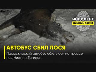 Пассажирский автобус сбил лося на трассе под Нижним Тагилом