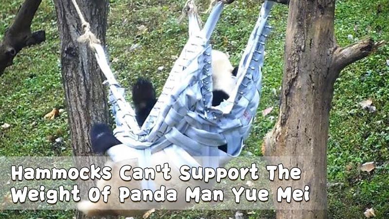 Hammocks Can't Support The Weight Of Panda Man Yue Mei iPanda
