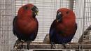 Две девицы красавицы эклектусы птенцы выкормыши 2 месяца 9 и 12 дней