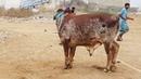 Beautiful Bull qurbani in saadi Town Must Watch, 2018, Part 1