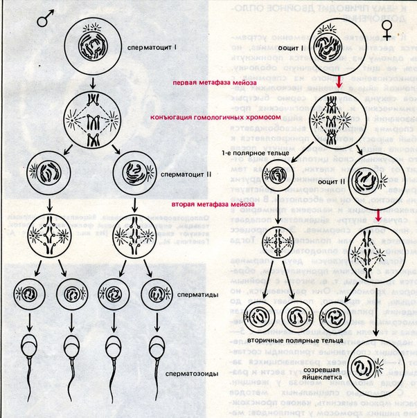 Сперматида фото