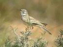 Greater hoopoe-lark / Большой удодовый жаворонок / Alaemon alaudipes
