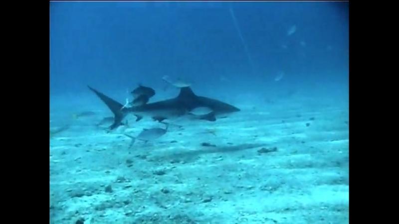 Почему акулы выплевывают свои желудки?